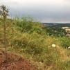 Berg-Mammutbaum